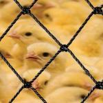 Tela para aviários